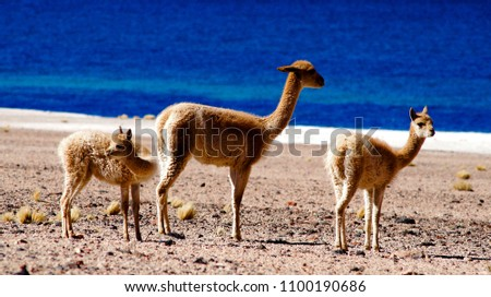 3-vicunas-standing-lake-on-450w-11001906