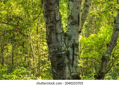 The 3 white tree trunks in a green environment