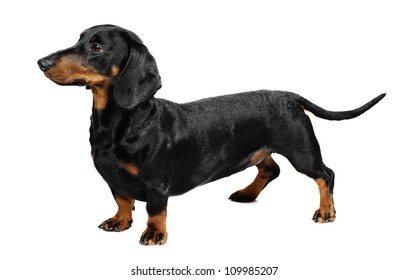3 years old dachshund in studio in front of a white background