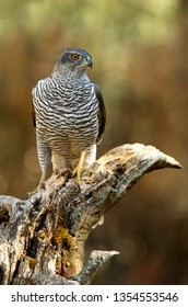 3 years old male of Northern goshawk, Accipiter gentilis