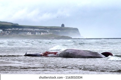 30 Foot long beached whale, dead on Portstewart beach NI