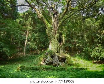 3000 years camphor tree in Takeo shrine Saga Kyushu Japan