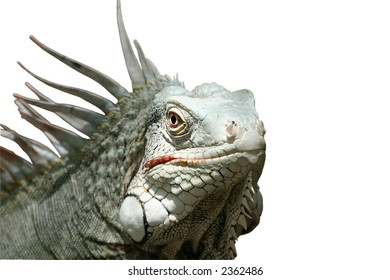 3/4 view of iguana on a white background
