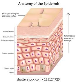 3d anatomy of the epidermis