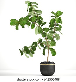 3D digital render of Ficus lyrata trees isolated on white background