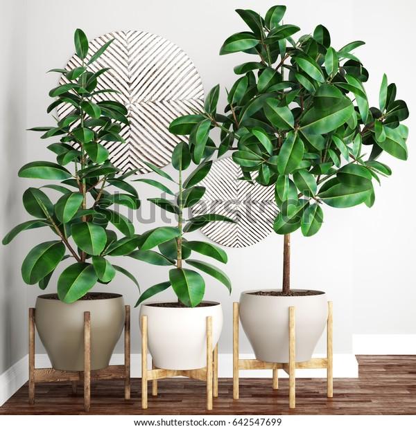 3D digital render of Ficus robusta trees
