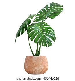 3D digital render of Monstera isolated on white background