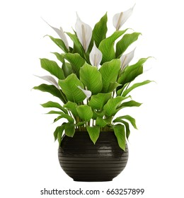 3D digital render of Spathiphyllum isolated on white background