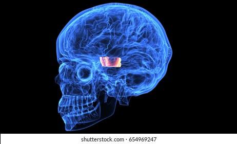 3d human body skeleton and skull anatomy