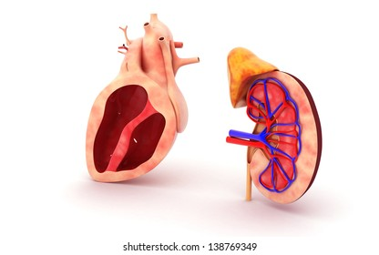 3d Human heart and kidney isolated on white background