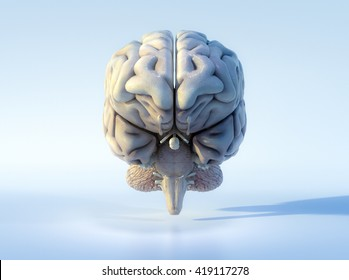 3D illustrated detailed view of the human brain. Front view.