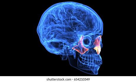 3d illustration of human body skull and skeleton anatomy parts