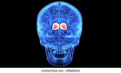 3d illustration of human body skull and brain anatomy parts