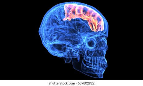 3d illustration of human body skull and brain anatomy