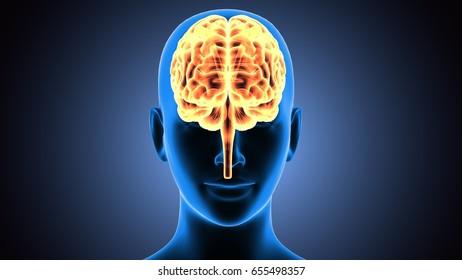 3d illustration of human brain anatomy