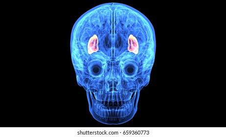 3d illustration of human skull and brain inter parts anatomy