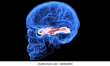 3d illustration of human skull with brain anatomy