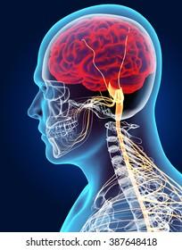 3D illustration male nervous system, medical concept.