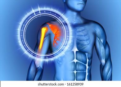 3D illustration shoulder scapula clavicle