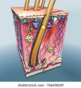 3d illustration of a skin part with a cross section of the human skin with hair follicle or roots, red and blue blood vessels, illustration of anatomical function