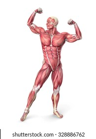 3d muscular anatomy - bodybuilder isolated on white