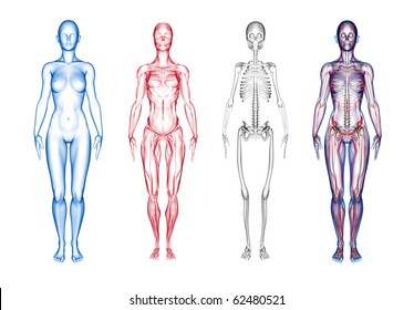 3D render of female anatomy