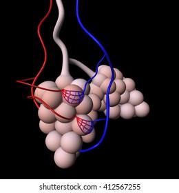 3D render of human alveoli