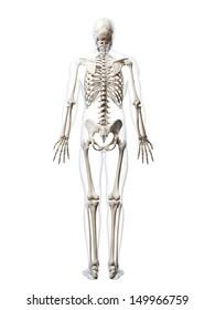 3d rendered illustration of the human skeleton
