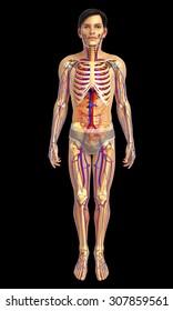 3d rendered illustration of male skeletal system