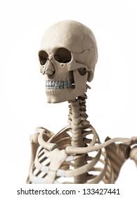 3d rendered illustration of the skeleton