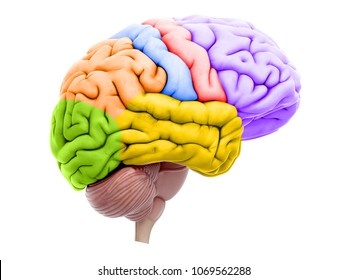 3d rendered medically accurate illustration of the brain sections
