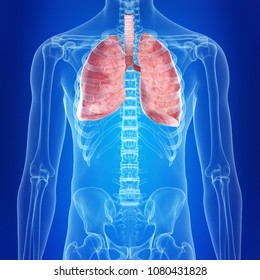 3d rendered, medically accurate illustration of the lungs