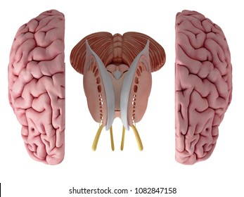 3d rendered, medically accurate illustration of the brain anatomy