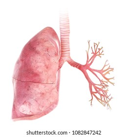 3d rendered, medically accurate illustration of the lung and bronchi