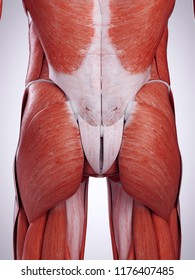 3d rendered medically accurate illustration of the bottom muscles