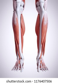 3d rendered medically accurate illustration of the lower leg muscles
