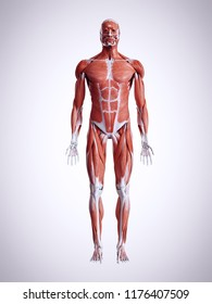 3d rendered medically accurate illustration of the male muscles
