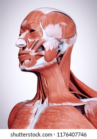 3d rendered medically accurate illustration of the head and neck muscles
