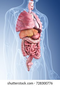 3d rendered medically accurate illustration of the human organs