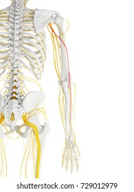 3d rendered medically accurate illustration of the radial nerve