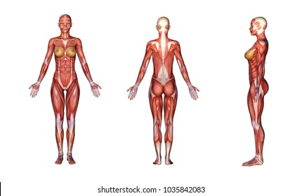 Female anatomy images stock photos vectors shutterstock 3d rendering a standing female body illustration with muscle tissues display ccuart Choice Image