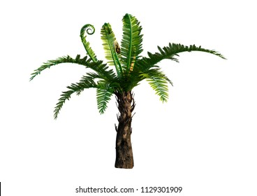 3D rendering of a dicksonia, a genus of tree ferns isolated on white background
