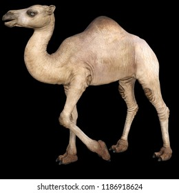 3d rendering dromedary isolated on black