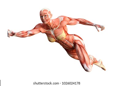 3D rendering of a female figure with muscle maps isolated on white background