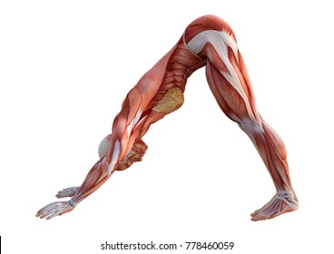 3D rendering of a female figure with muscle maps exercising yoga isolated on white background