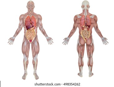 Anatomical body human skeleton anatomy human stock illustration 3d rendering front and back view of an anatomical man with internal organs view isolated on ccuart Image collections