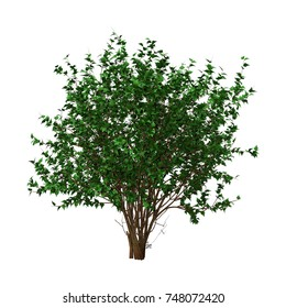 3D rendering of a green hibiscus bush isolated on white background