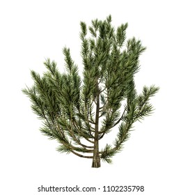 3D rendering of a mulga tree or Acacia aneura or true mulga isolated on white background
