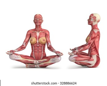 3d woman muscular anatomy - meditating position