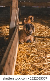 3-day old goat kid resting in a barn - Cute little Alpine baby goat on a dairy farm - Warm filter